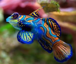Blue-Mandarin