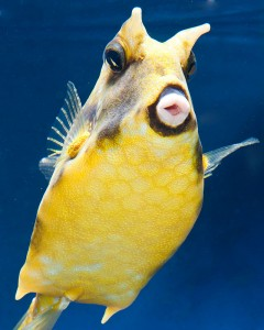 y tastes tend toward the bizarre and in addition to beautiful fish i have two that are startling but hardly beautiful a long horned cowfish